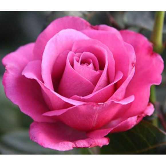 Rose Love Potion®