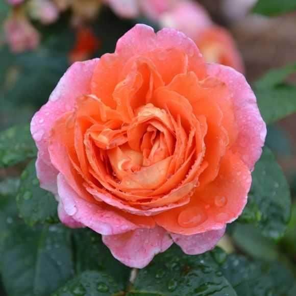 Rosier Guillot® Générosa® - Notre Dame du Rosaire
