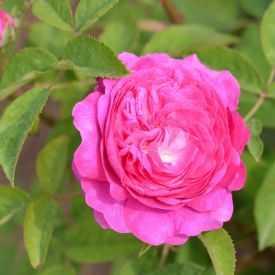 Rosier ancien - Rose des peintres