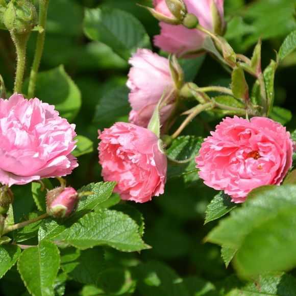 Rosier ancien - Pink Grootendorst