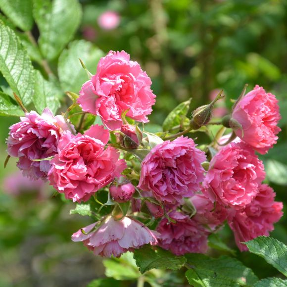 Rosier Pink Grootendorst