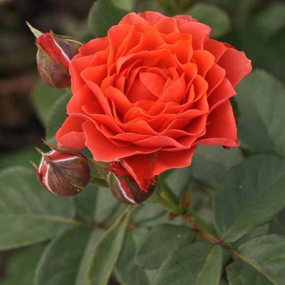 Rose Eclat de Corail