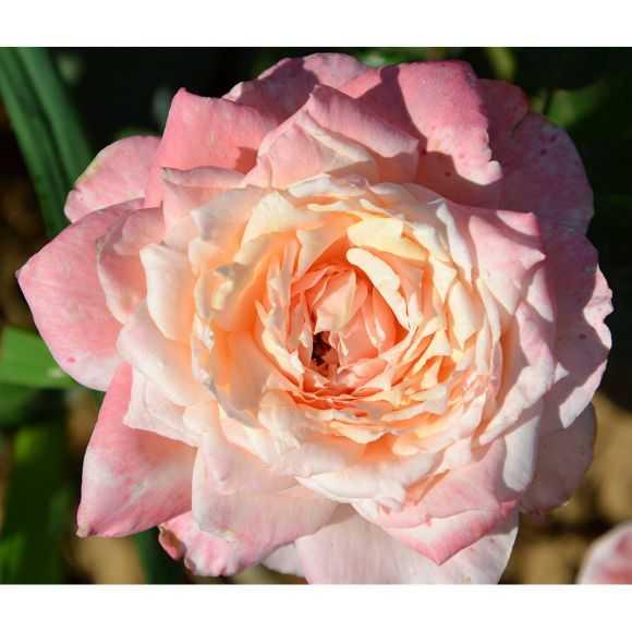 Rose Comte de Rambuteau