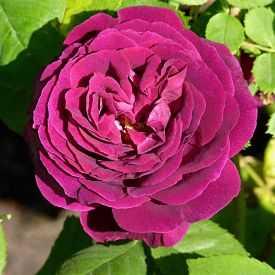 rosier Souv. du Docteur Jamain