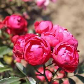 Rosier miniature - Fête des Mères - Koster Rouge