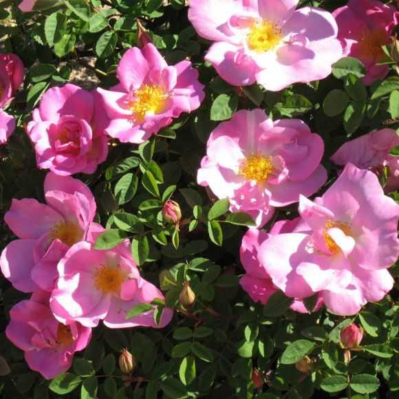 Roses Marguerite Hilling