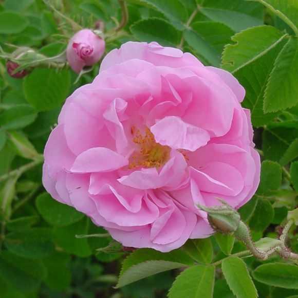 Rosa Damascena Trigintipetala (KAZANLIK)