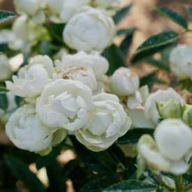 Rosier miniature - Blanche Neige (Koster Blanc)
