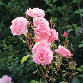 Rosier fleurs groupées Guillot - Kaleidoscope®