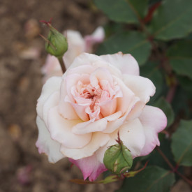 Rosiers Anciens Guillot® - Mme Falcot
