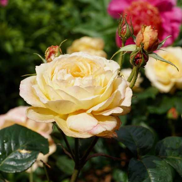 Rose Gene Tierney