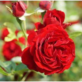 Rosier Fleurs Groupées Guillot® - Rose Brouilly®