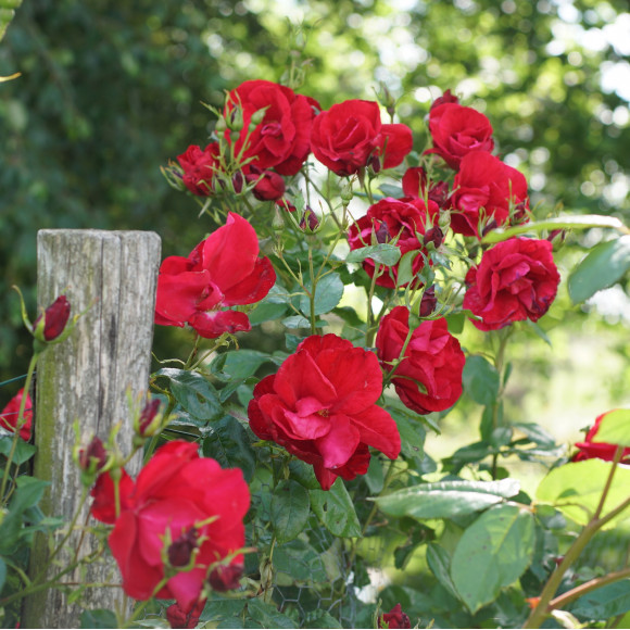 Rouge de Chamagnieu