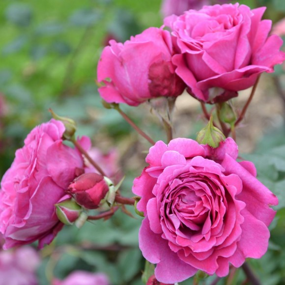rosier Generosa® Ventilo