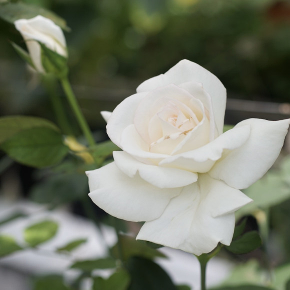 Rosier Guillot® Grande fleurs - Frédéric Dard®