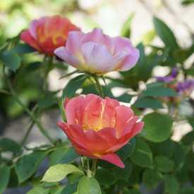 Rosier Fleurs groupées Guillot® - Edouard Guillot®