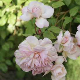 Rosier grimpant ancien - Desprez à Fleurs Jaunes