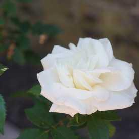Rosier ancien Guillot® - Gloire Lyonnaise