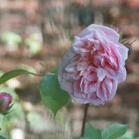 Rosier ancien - Pink Gruss An Aachen