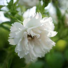Rosier ancien - White Grootendorst