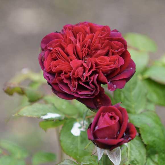 Rosier Guillot® Générosa® - Rose Bicentenaire de Guillot®