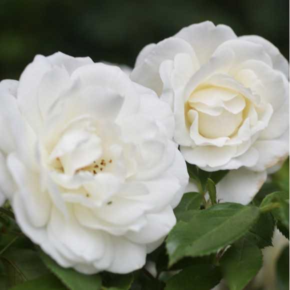 Rosier Fleurs groupées Guillot® - Fabulous!®