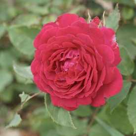 Souvenir de Lady Hardley