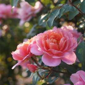 Chantal Ladesou® - Terre de Roses Guillot