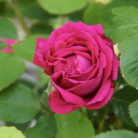 Rosier ancien Guillot® - Comtesse d'Oxford