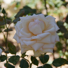 Rosier ancien Guillot® - Comtesse de Cassagne