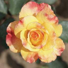 Rosier Guillot® Grandes Fleurs - Rio Samba®