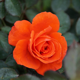 Rosier Guillot® Grandes fleurs - Candelabra®