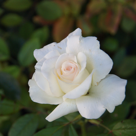 Rosier Guillot® Grandes fleurs - Corinna Schumacher