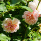 Rosier ancien - Felicia - Roses Guillot®