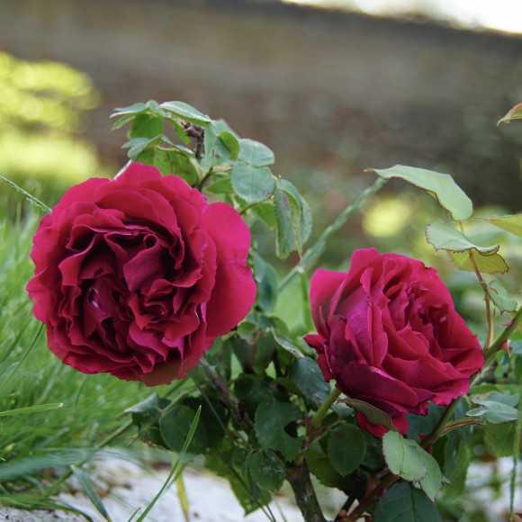 Rosier Guillot® Grande Fleur - Georges Duboeuf®