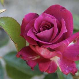 Rosier Fleurs groupées Guillot® - Intrigue®