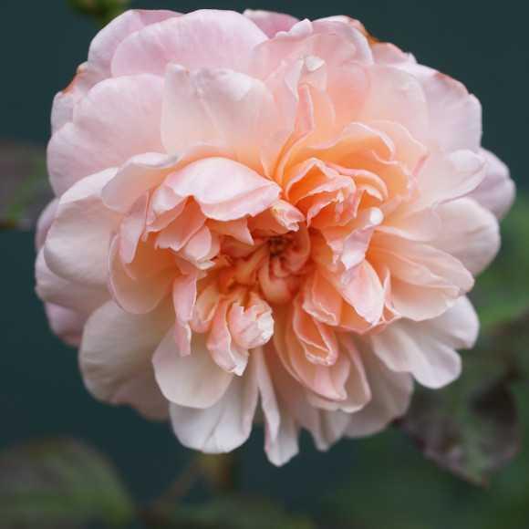 Rose Irène Watts