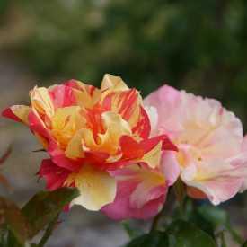 Rosier Fleurs groupées Guillot® - Jacqueline Farvacques®