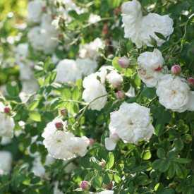 Rosier ancien - Mme Hardy - Roses Guillot®