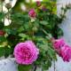 Rosier grimpant ancien - Mme Isaac Péreire - Roses Guillot®