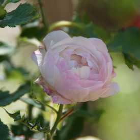Rosier ancien - Mme Pierre Oger - Roses Guillot®
