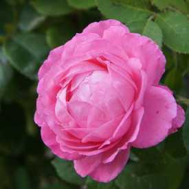 Rosier ancien - Mrs John Laing