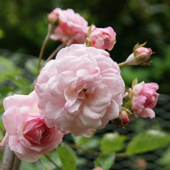Rosier ancien - Pink Prosperity