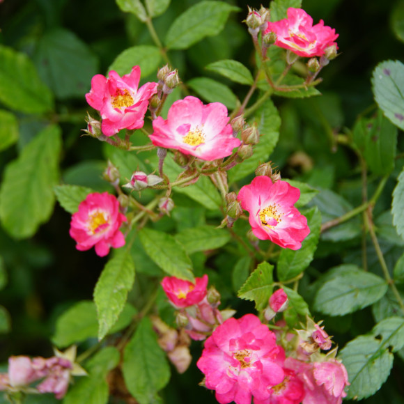 Rosier ancien - Robin Hood - Roses Guillot®