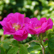 Rose de Provins - Rosa Gallica Officinalis