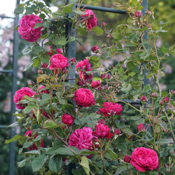 Rosier Guillot® Générosa® Grimpant - Rose Salma Es-Said®