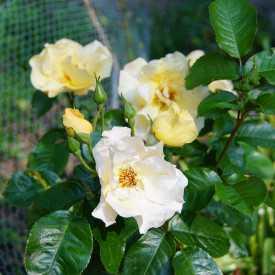 Rosier fleurs groupées Guillot® - Souvenir de Robert Schuman®