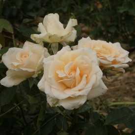 Rosier Guillot® Grandes Fleurs® - Vanilla Perfume®