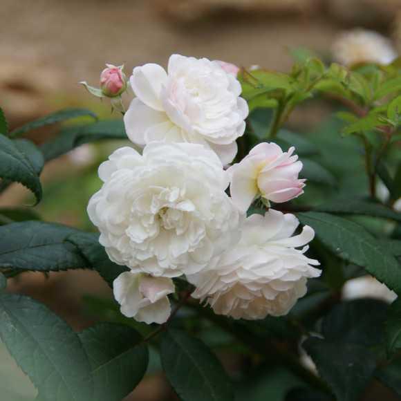 Trésor de Thorigny - Rosier Ancien - Roses Guillot®