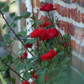 Guirlande Fleurie - Rosier Liane - Roses Guillot®